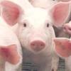 Вирощування свиней за канадською технологією і в чому її переваги