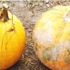 Вирощування гарбуза