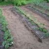 Висадка розсади помідор в грунт