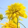 Високорослі багаторічники, квітучі з другої половини літа