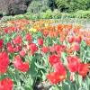 Виставка тюльпанів у Нікітському ботанічному саду (крим)