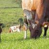 Захворювання корів, які можуть бути небезпечні для людини