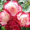 Загартовування троянд