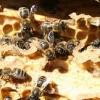 Захист бджіл від кліща, що застосувати