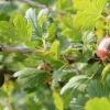 Захистити агрус від борошнистої роси