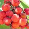 Суничне дерево червоне: опис рослини
