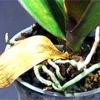 Жовтіє листя орхідеї
