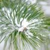 Зимові картини саду: вічнозелені хвойні