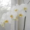 Знайомтеся орхідея фаленопсис