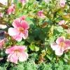 10 Кращих летнецветущіх почвопокровних рослин для сонячних ділянок