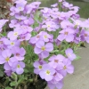 10 Кращих весеннецветущих почвопокровних рослин для сонячних ділянок