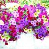 Ампельні рослини у вашому саду