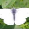Метелик капустяна білявка і її фото