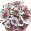 Бегонії декоративно листяні