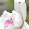 Хвороби і шкідники орхідей