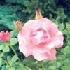 Хвороби і шкідники троянд