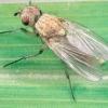 Боротьба з цибулевої мухою