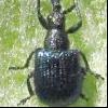 Букарка (coenorrhinus pauxillus)