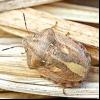 Черепашка маврський (eurygaster maurus)