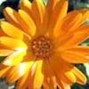 Квітка - нігтик