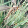 Долгоножки шкідлива (tipula paludosa)