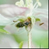 Грушевий плодовий пильщик (hоplocampa brevis)