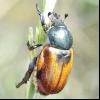 Хлібний жук-кузька (anisoplia austriaca)