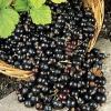 Як зберегти чорну, червоною смородину на зиму, рецепти