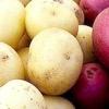 Картопля Рокко і інші сорти-рекордсмени за врожайності
