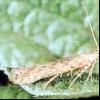 Картопляна міль (phthorimaea operculella)