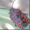Клоп капустяний (eurydema ventralis)