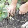 Полуниця: догляд після збору врожаю