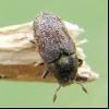 Короїд ясеневий (hylesinus fraxini)
