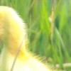 Хто такі мускусні качки і чим відрізняється їх зміст взимку?