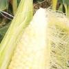 Кукурудза - корисні властивості овоча і яку небезпеку вона може в собі нести?