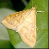 Кукурудзяний (стебловий) метелик (ostrinia nubilalis)