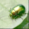 Листоїд зелений м'ятний (chrysolina herbacea)