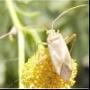 Люцерновий клоп (adelphocoris lineolatus)