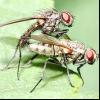 Цибулева муха (delia antiqua)