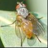 Малинова муха (pegomya rubivora)