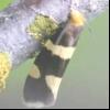 Малинова почковая моль (lampronia rubiella)
