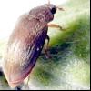 Малиновий жук (byturus tomentosus)