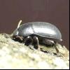 Медляк кукурудзяний (pedinus femoralis)
