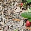 Мульчування полуниці як запорука раннього врожаю