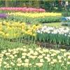 Осіння посадка цибулинних квітів