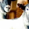 Вівці романівської породи як найкращий варіант для початківців вівчарів