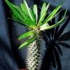 Пахіподіум - мадагаскарська пальма