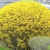 Посадка і догляд за квітучими чагарниками на дачі