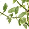 Проблеми вирощування каланхое в домашніх умовах