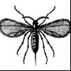 Просяний комарик (stenodiplosis panici)